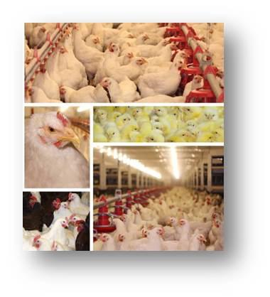 Collage de aves como pollos o gallinas