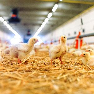 tres pollos enfocados en primer plano